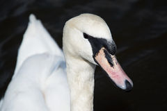 Swan (Cygnini) Royalty Free Stock Photo