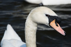 Swan (Cygnini) Royalty Free Stock Images