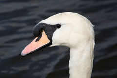 Swan (Cygnini) Stock Photo
