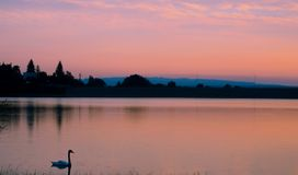 Swan on lake. Swan Cygnus is a genus of large water birds, closely related to geese. Types of the northern hemisphere have pure white feathers, and swans in the stock image