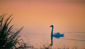 Swan on lake. Swan Cygnus is a genus of large water birds, closely related to geese. Types of the northern hemisphere have pure white feathers, and swans in the stock photo