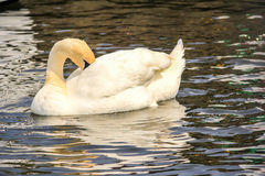 Swan (Cygnus). An image of a Swan (Cygnus) taken on the river on the Norfolk Broads in England Royalty Free Stock Photo
