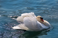 Swan (Cygnus olor) Stock Photo