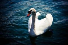 Swan (Cygnus olor). Swimming in deep blue water Royalty Free Stock Photo