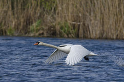 Swan (Cygnus Olor). Flying on the river stock image