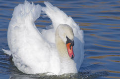 Swan (Cygnus Olor) Stock Photography