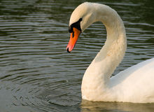Swan - Cygnus olor Royalty Free Stock Photo