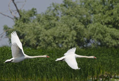 Swan (Cygnus Olor) royaltyfri foto