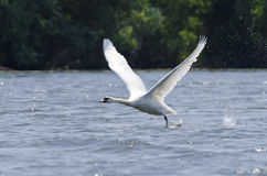 Swan (Cygnus Olor) Royalty Free Stock Image