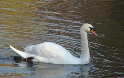 Swan Cygnus olor. White Swan shipun Cygnus olor Royalty Free Stock Images