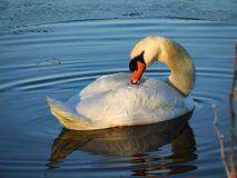 A swan Cygnus olor is floating in an ice hole and making circular ripples in the water. stock image