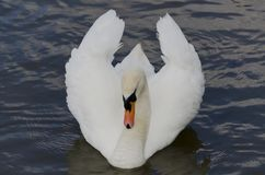 Swan flowing on thr river, UK Royalty Free Stock Images