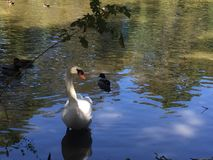 Swan in cypress swamp stock photography