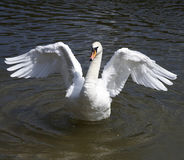 Swan Dance Royalty Free Stock Image