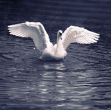 Swan Dance Royalty Free Stock Images