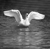 Swan Dance Royalty Free Stock Photos