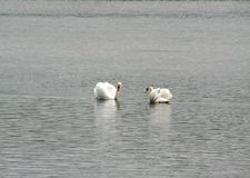 Swan dance of love Royalty Free Stock Images