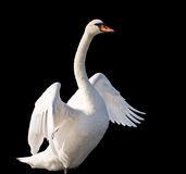 Swan dancing. A beautiful swan dancing on water isolated on black background Stock Image