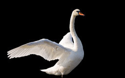 Swan dancing. A beautiful swan dancing  isolated on black background Royalty Free Stock Photography