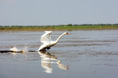 Swan in Danube Delta Royalty Free Stock Photography
