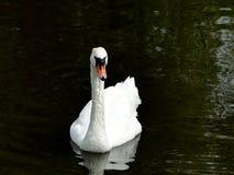 Swan on Dark Pond Stock Image