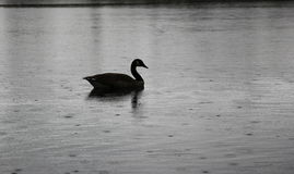 Swan on a dark and rainy day Royalty Free Stock Image