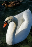 Swan on dark water Stock Photos