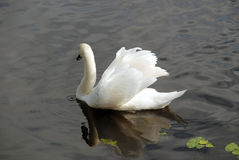 A swan on the dark water. Stock Photo