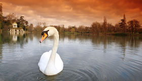 Swan in daumesnil lake Royalty Free Stock Photography