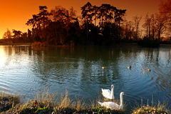 Swan in daumesnils lake, paris city Royalty Free Stock Photography