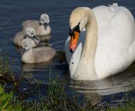 Swan and 1 day old cygnets. Female swan with one day old cygnets leaves nest for the first time royalty free stock photo