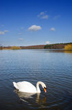 Swan on a Deep Blue Lake Royalty Free Stock Photography