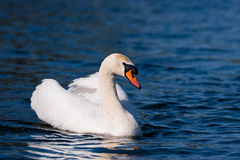 Swan On Deep Blue Water Stock Images