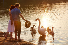 Swan defending offspring. From people at lake shore Stock Images