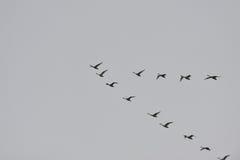 Swan departure Stock Image