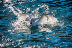 The swan. A swan deploying its wings stock images