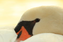 Swan detail Royalty Free Stock Image