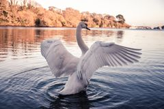Swan displaying its impressive wings royalty free stock images