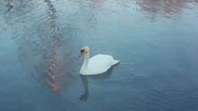 Swan dive. Diving swan. Waterfowl bird. White swan swimming in lake stock video footage