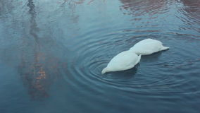 Swan dive. Waterfowl birds diving. White swans swimming in lake. Swan on blue water. Swans on pond, diving swans. White swans on water. Swan couple birds stock video footage