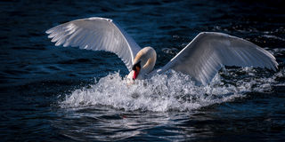 Swan Diving Into Water. A swan with outstretched wings dives into the blue water of Whittlingham Lake in Norfolk, creating a huge splash of water droplets Royalty Free Stock Images