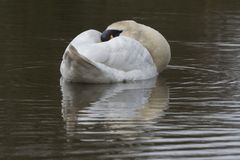 A swan with dozing on the Cemetery Lake. A mute swan dozing on the Cemetery Lake, Southampton Common, Hampshire, UK royalty free stock image