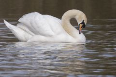 A swan dozing on the water. A swan dozing on the Cemetery Lake, Southampton Common stock photo