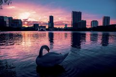 Swan in a dramatic sunset in Lake Eola. Swan in the water of a dramatic sunset in Lake Eola Orlando Florida Royalty Free Stock Photography