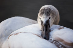 Swan. Dreamy look swans on lake Royalty Free Stock Photo