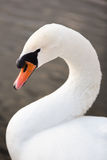 Swan. Dreamy look swans on lake Royalty Free Stock Photography