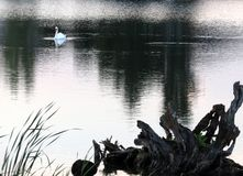 Swan and Driftwood. A swan swimming on the lake in the early evening stock photo
