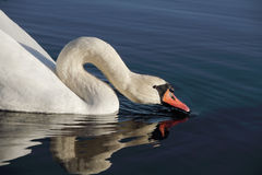 Swan drinking. Stock Photos