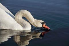 Free Swan Drinking. Stock Photos - 16870303
