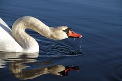 Swan drinking. Stock Photo